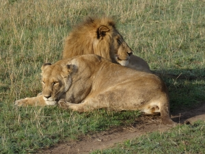 Lion pair at rest