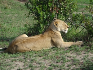 Lioness patiently waitig 2