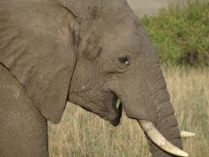 Maasai elephant closeup 2