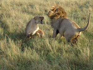 Maasai lion fight