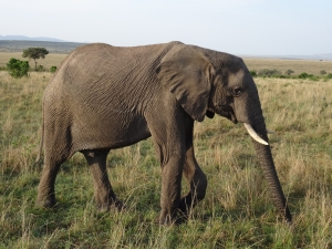 Maasi elephant