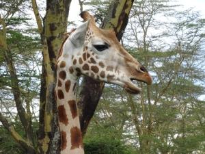Ugandan giraffe closeup 2