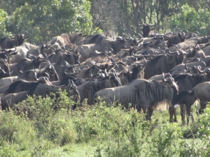 Wildebeest gathering